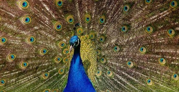 فرق طاووس نر و ماده چیست؟