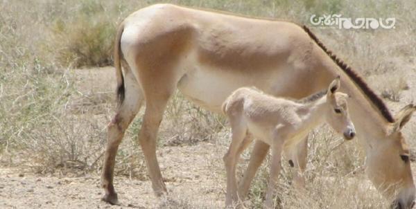 تولد نخستین کره گورخر در پارک ملی کویر مرکزی