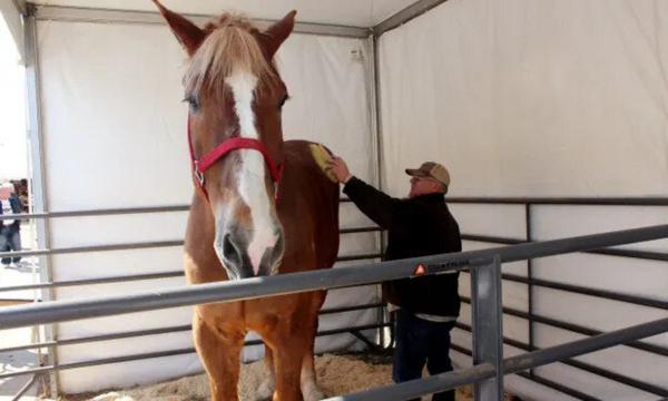 مرگ قدبلندترین اسب دنیا در 20 سالگی