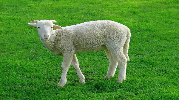 اقدام جالب گوسفند هنگام لایو چوپان
